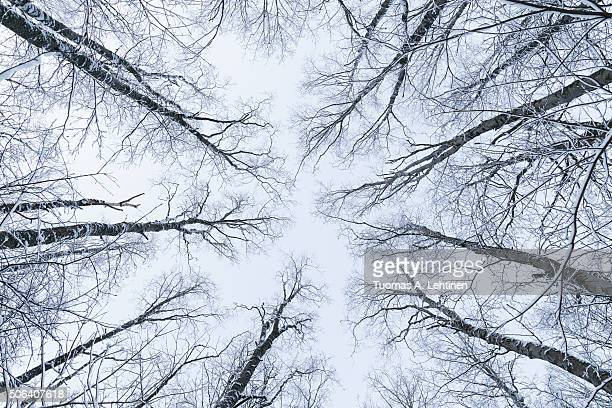 Snowy trees in a forest viewed from below in the winter.