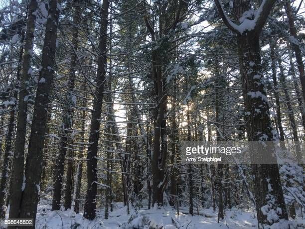 snowy trees in the woods - amy freeze stock pictures, royalty-free photos & images
