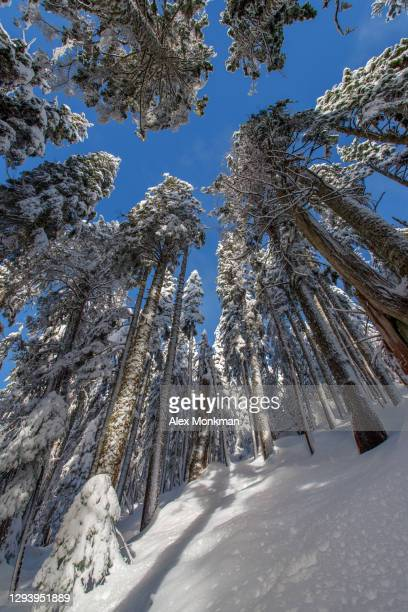 snowy trees - bc stock pictures, royalty-free photos & images