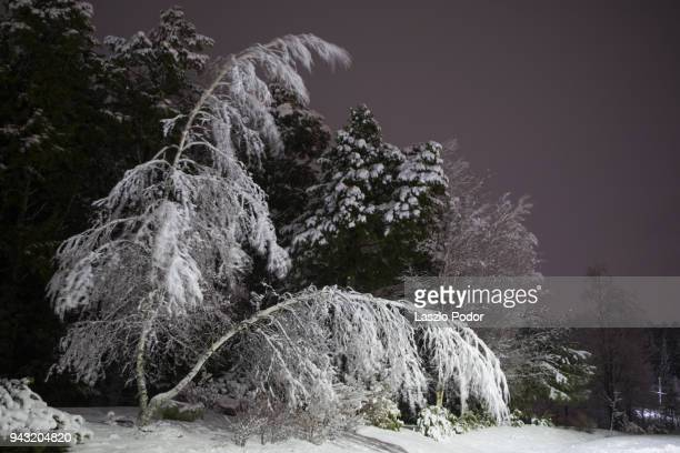 snowy trees - bent stock pictures, royalty-free photos & images