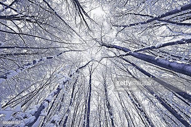 Snowy trees worm´s-eye view