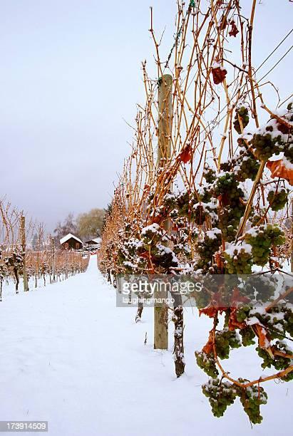 Snowy vineyard in the ice wine region of Okanagan valley