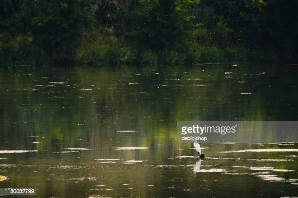 snowy white egret standing in water - istock images stock pictures, royalty-free photos & images