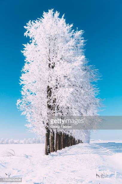 snowy winter, all around the snow. tree of front and awesome sun light on the background. - 一月 ストックフォトと画像