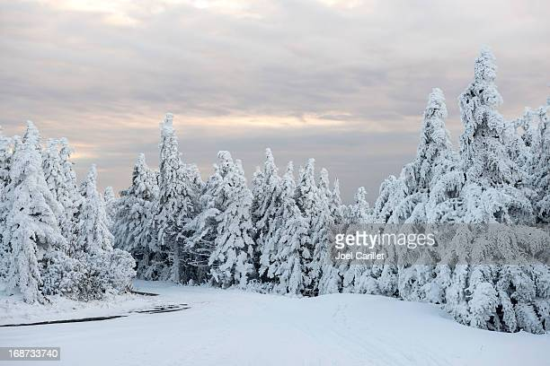 snowy winter forest landscape at dusk on roan mountain - spruce tree stock pictures, royalty-free photos & images