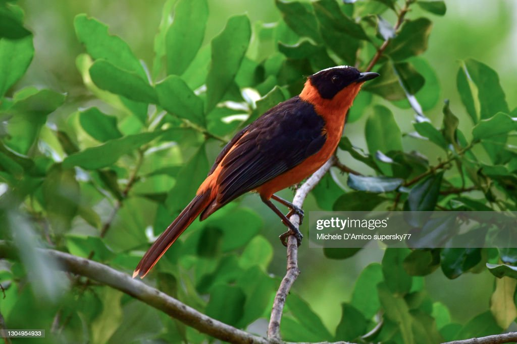 Snowy-crowned robin-chat (Cossypha niveicapilla) : Foto stock