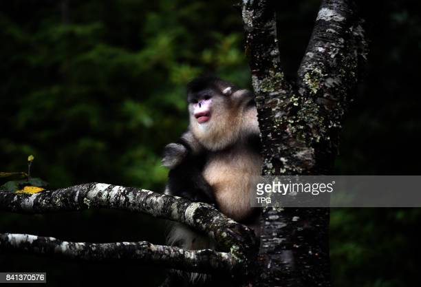 Snub-nosed monkey rests in a tree at Snub-nosed Monkey National Park in southwest China's Yunnan Province, on August 27, 2017. Covering an area of...