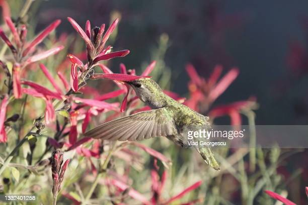 so into you - anna's hummingbird stock pictures, royalty-free photos & images