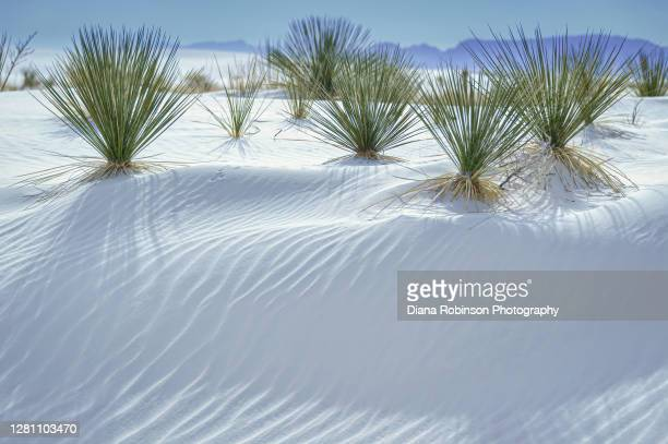 soaptree yucca plants at white sands national monument in the northern chihuahuan desert , new mexico - chihuahua desert stock pictures, royalty-free photos & images