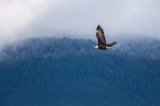 Soaring Bald Eagle near Harrison British Columbia 502106064