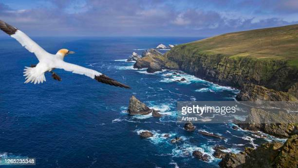 Soaring gannet and spectacular coastline with sea cliffs and stacks home to breeding sea birds at Hermaness Unst Shetland Islands Scotland UK