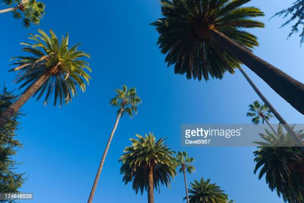 Soaring palm trees in Beverly Hills