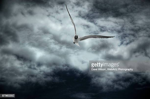 soaring - dave wilson webartz stock pictures, royalty-free photos & images