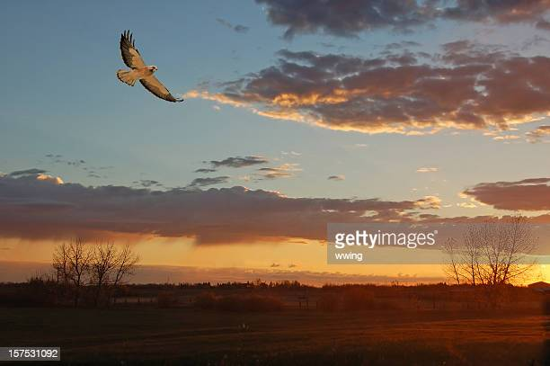 soaring red-tailed hawk - red tailed hawk stock photos and pictures