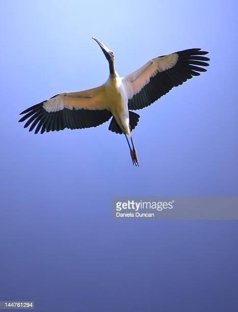 Soaring stork