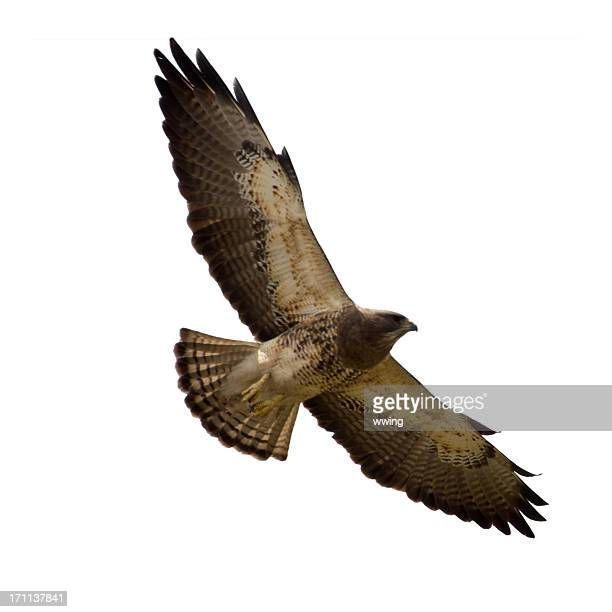 soaring swainson's hawk isolated on white - hawk bird stock photos and pictures