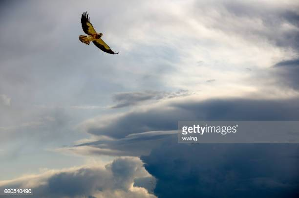 soaring swainson's hawk with a variety of sky backgrounds - hawk stock photos and pictures
