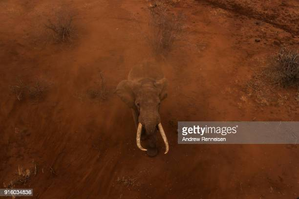 Sobo a male African Savannah Elephant walks through rotor wash from a Kenya Wildlife Service helicopter during an elephant collaring operation on...