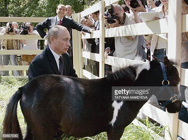Sochi, RUSSIAN FEDERATION: Russian President Vladimir Putin shows one of his dwarf horses to Italian Prime Minister Silvio Berlusconi in the Russian...