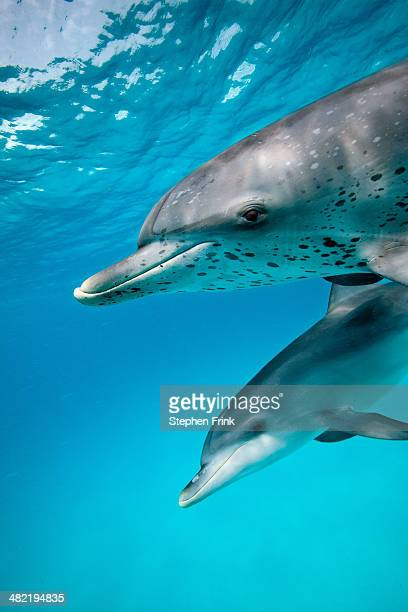 sociable spotted dolphin. - mammal stock pictures, royalty-free photos & images