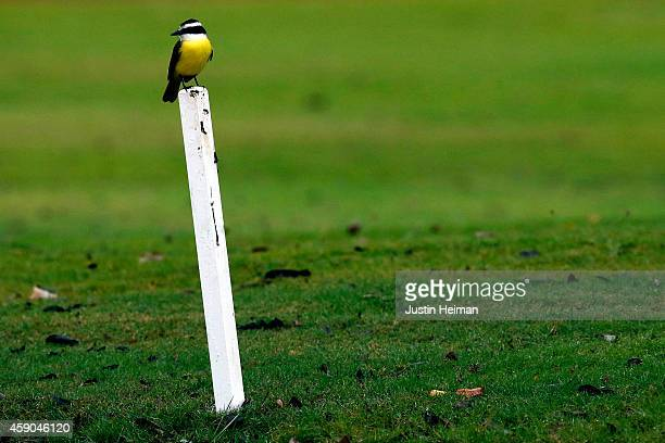 Social flycatcher sits perched on a pylon during the third round of the OHL Classic at Mayakoba on November 15 2014 in Playa del Carmen Mexico