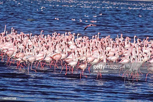 Social marching display of a flock of lesser flamingos in a shallow soda lake in East Africa's Great Rift Valley Phoenicopterus minor Lake Nakuru...