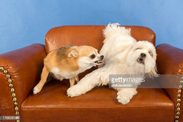 socializing adult dogs - dog cruelty stock pictures, royalty-free photos & images