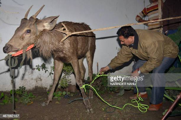A Society for the Prevention of Cruelty to Animals official secures a deer which had strayed into a home at a village near Amritsar on February 7...