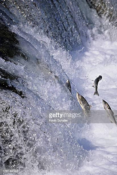 Sockeye Salmon jumping in Brooks River Falls, Katmai National Park, Alaska, USA