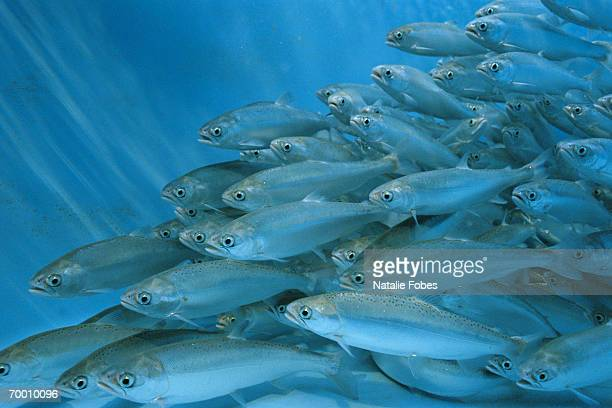 sockeye salmon (oncorhynchus nerka) swimming in hatchery, idaho, usa - aquaculture stock pictures, royalty-free photos & images