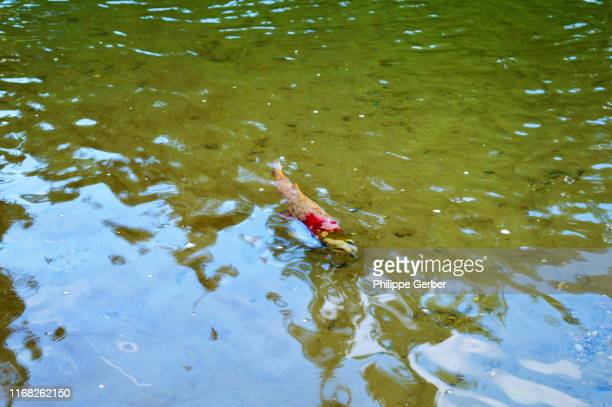 sockeye salmon swimming in little susitna river - mt. susitna stock pictures, royalty-free photos & images