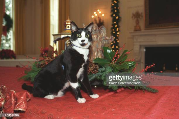 Socks the Cat, the First Pet of President Bill Clinton and First Wife Hillary Rodham Clinton, with black fur, white face, and amber eyes, standing...