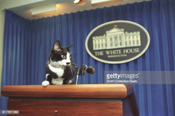 Socks the Cat the First Pet of President Bill Clinton and First Wife Hillary Rodham Clinton with black fur white face and amber eyes standing as if...