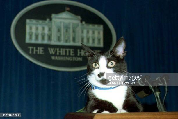Socks, the White House cat, sits atop the podium in the White House press briefing room 19 March 1994. A groundskeeper who regularly walks Socks...