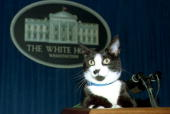 Socks the white house cat sits atop the podium in the white house picture id52032864?s=170x170