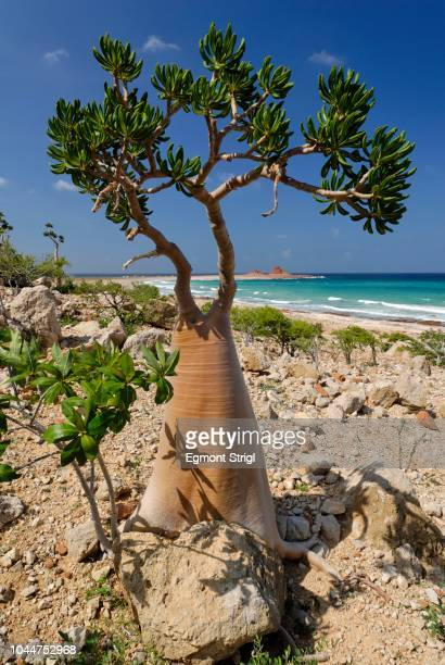 Socotra Desert Rose or Bottle Tree, adenium obesum sokotranum, Socotra island, UNESCO World Heritage Site, Yemen