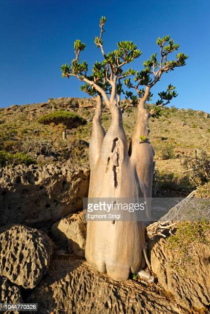 Socotra Desert Rose or Bottle Tree, adenium obesum sokotranum, Socotra island, UNESCO-World Heritage Site, Yemen