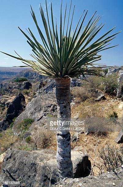 Socotra Dragon Tree or Dragon Blood Tree Asparagaceae endemic vegetation Hajir Mountains Socotra Yemen