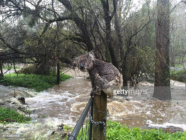 Sodden koala climbs on a fence post to escape flood waters on September 14, 2016 in Stirling, South Australia. Heavy rain on Thursday has caused...