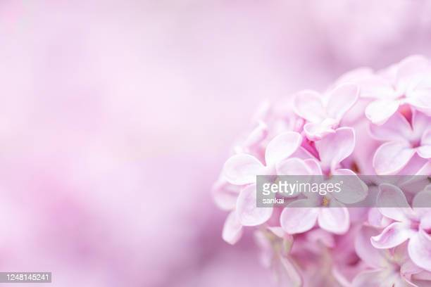 soft and gentle pink lilac flowers - may stock pictures, royalty-free photos & images