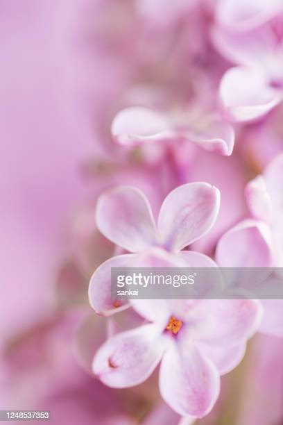 soft and gentle pink lilac flowers - purple lilac stock pictures, royalty-free photos & images