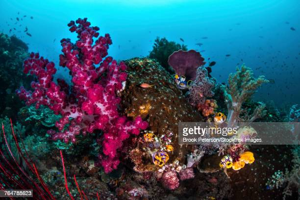 Soft and hard coral on a reef, Raja Ampat, Indonesia.