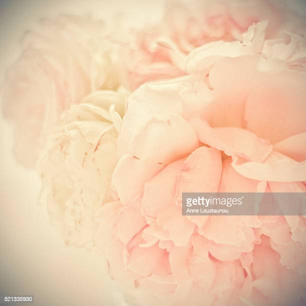 Soft bouquet of pink and white roses, Close up