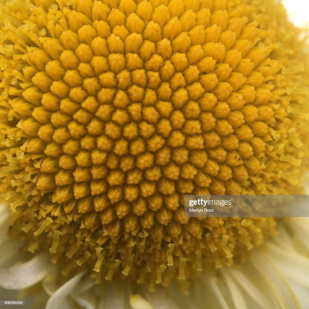 Soft Center Of Yellow Flower Pistils Closeup Stock Photo Getty Images
