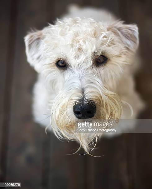 60 Top Soft Coated Wheaten Terrier Pictures Photos