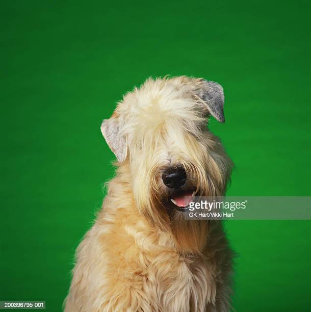 soft coated wheaten terrier - soft coated wheaten terrier stock photos and pictures