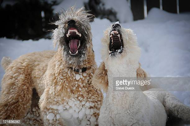 soft coated wheaten terrier snow - soft coated wheaten terrier stock photos and pictures
