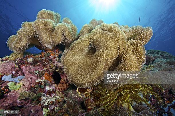 Soft coral garden and sunbeam at Apo Island Philippines