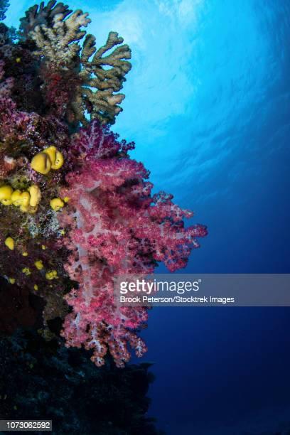 Soft coral on a wall in Kadavu Island, Fiji.
