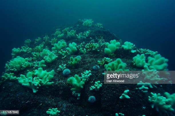 Soft corals and Sea Urchins crowd an outcrop on June 25 2011 off Inner Farne England The Farne Islands which are run by the National Trust are...